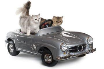 Längere Autofahrt mit der Katze – Mit Katzen unterwegs im Auto