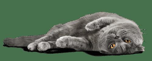 Katze mit sanften Beruhigungsmitteln vor stressigen Situationen beruhigen