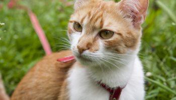 Katzengeschirr mit Leine – Sicher unterwegs mit Katze
