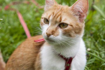 Katze mit Katzengeschirr und Leine
