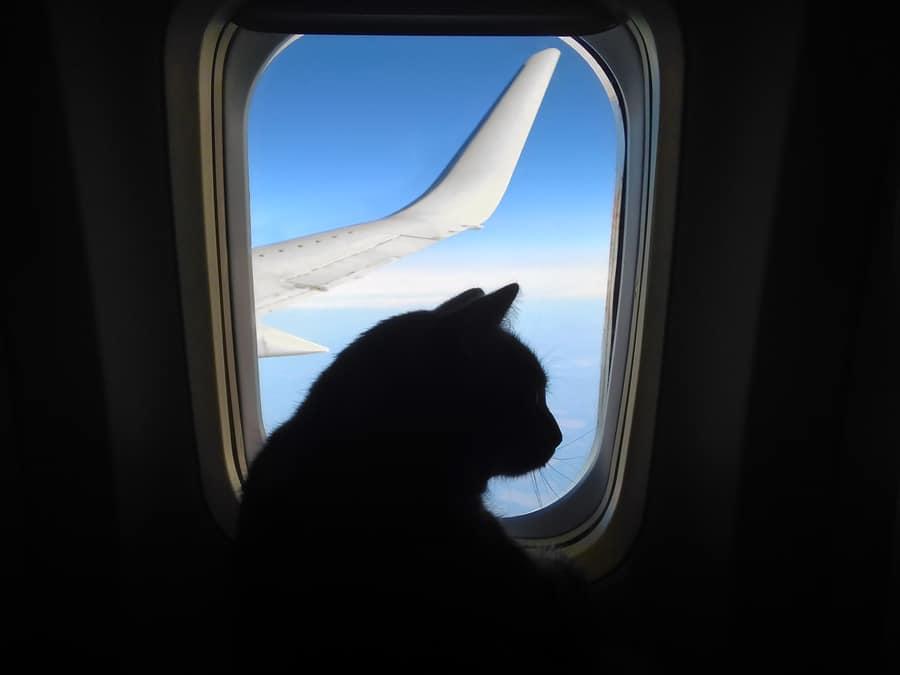 Katze im Flugzeug transportieren
