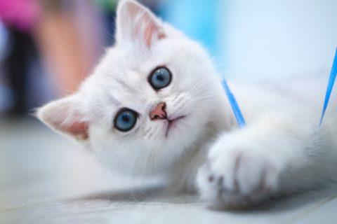 Weisse Kätzchen mit baluen Augen neigen häufig zur Taubheit