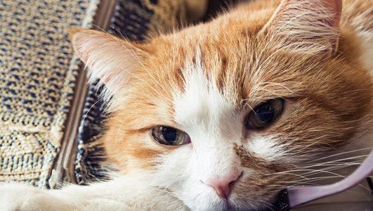 Taubheit bei Katzen