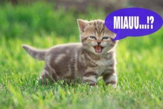 Katze miaut ständig - mögliche Ursachen