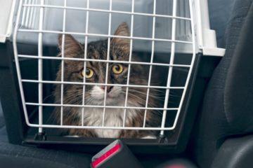 Reisekrankheit bei der Katze – Kinetose