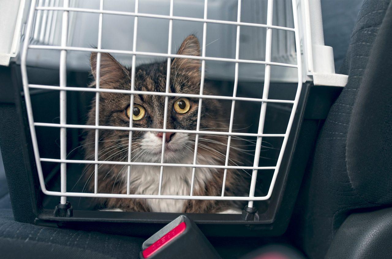Reisekrankheit bei Katzen