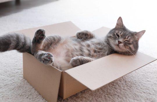 Warum lieben Katzen Kartons und Kisten?