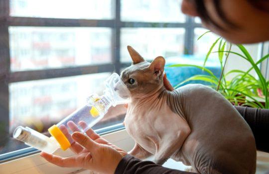 Katzen mit Asthma an Inhalationstherapie gewöhnen